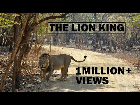 The Lion King | Gir National Park | Sasan Gir