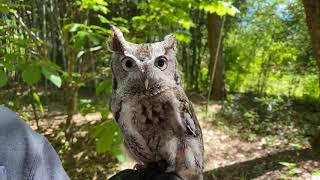 Home Safari – Oakley Screech Owl – Cincinnati Zoo