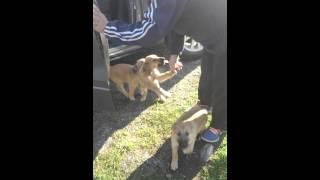 Malinois-bc Mix Puppies Greeting A Person
