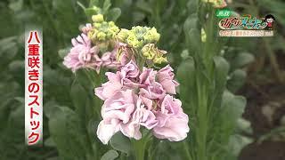 鳥取県北栄町で切り花の栽培をしている生橋健吾さん。ハウスいっぱいに...
