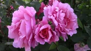 Розы. Первая волна цветения. 23 июня 2018