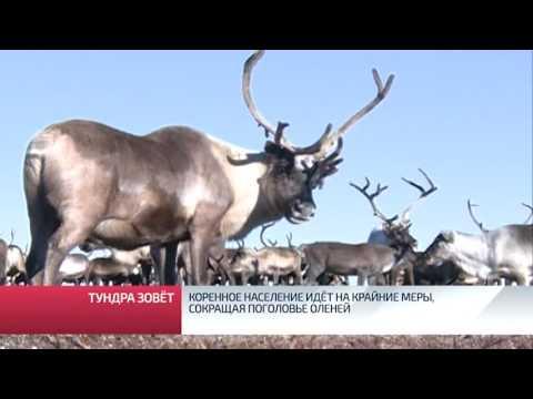 Коренное население идёт на крайние меры, сокращая поголовье оленей