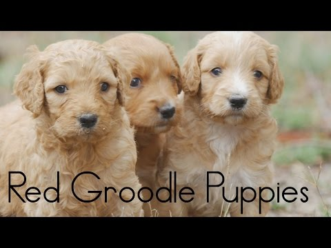 Red Groodle Puppies Feb 2016