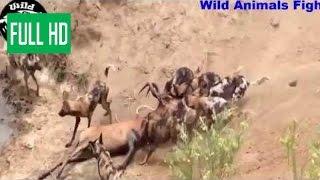 Гиены живьем поедают кабана.Слабо нервным не смотреть!!!!! борьба животных
