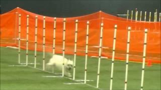 Pach 3 Skippy - Golden Retriever Club Of Illinois Agility Trial  7-26-15