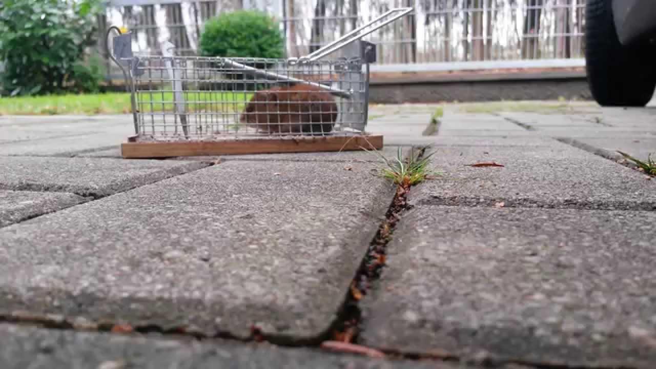 Mausefallentest Teil Ii Maus In Lebendfalle Gefangen Youtube