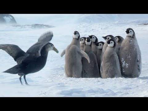 Penguin Chicks Rescued By Unlikely Hero | Spy In The Snow | BBC Earth
