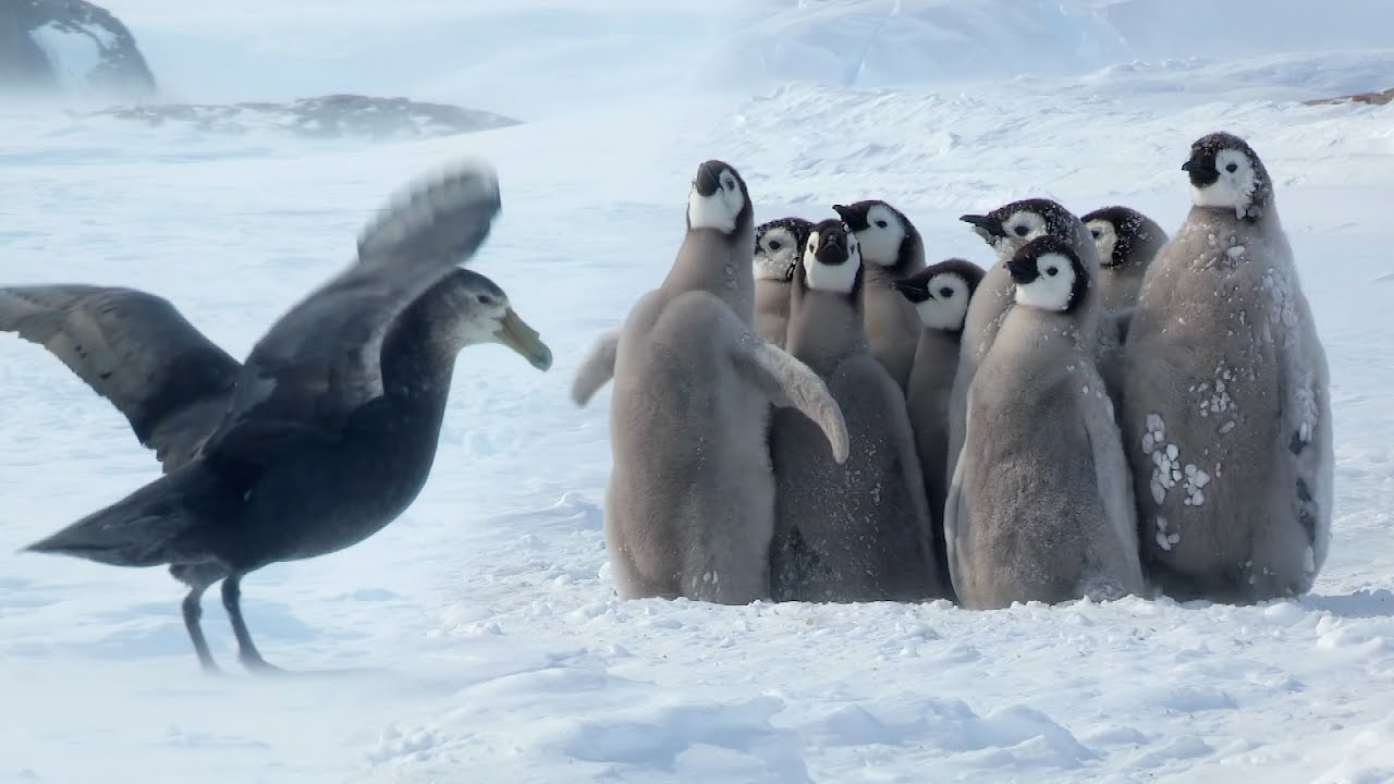 Penguin chicks rescued by unlikely hero | Spy In The Snow | BBC ...