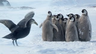 Penguin Chicks' Stand Off Against Predator | Spy In The Snow | BBC Earth