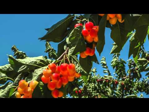 Dept of AGRI   Cherries Video