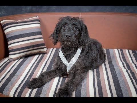 Lucy - Golden Doodle Puppy - 2 Weeks Residential Dog Training UK & USA