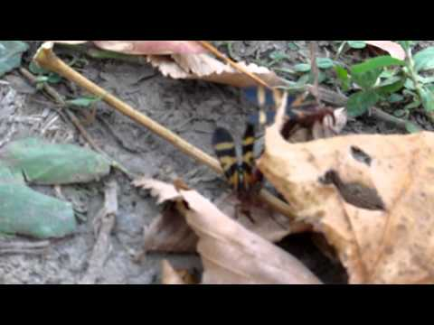 Scorpionflies Mating