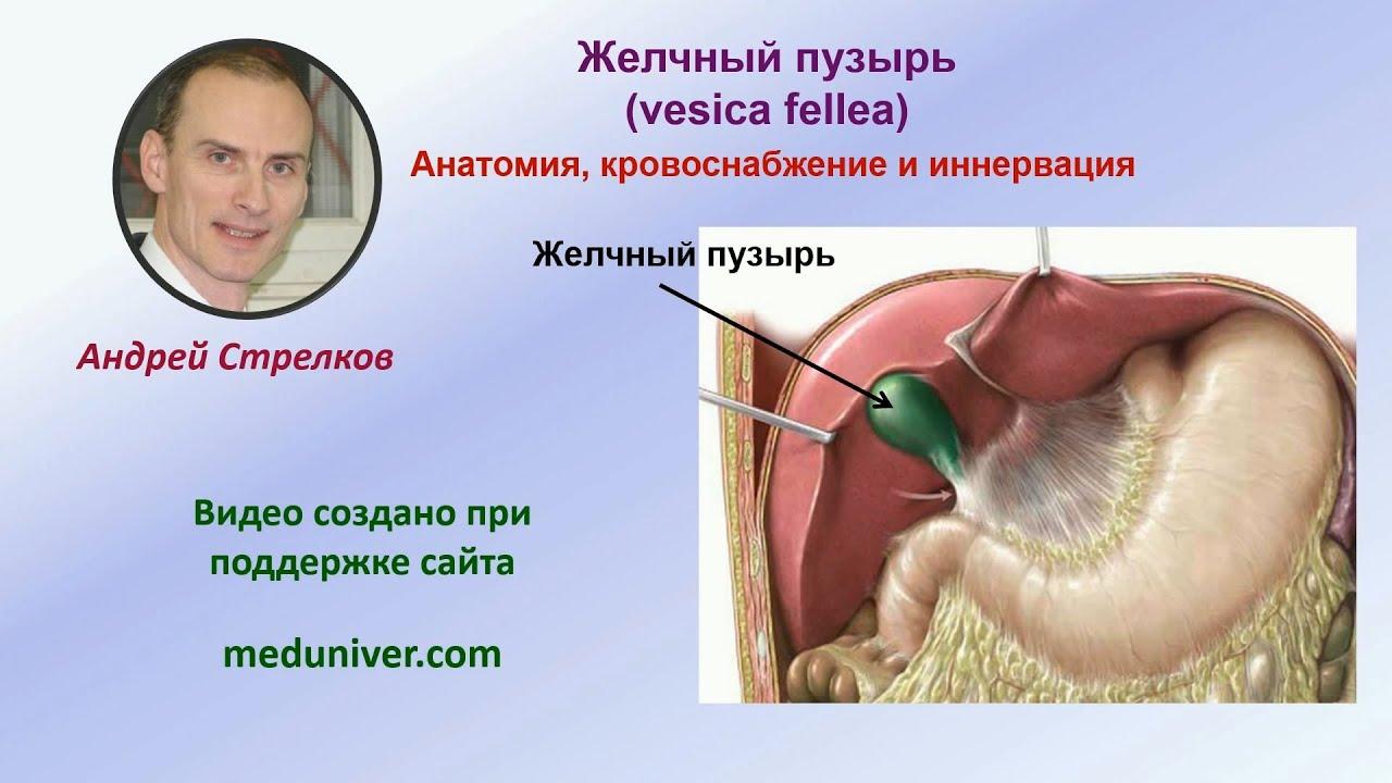 Анатомия желчного пузыря, его кровоснабжение и иннервация - meduniver.com