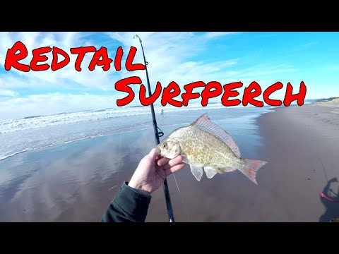 Oregon coast fishing redtail surf perch youtube for Oregon out of state fishing license
