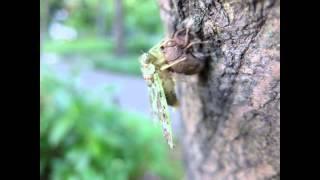 ニイニイゼミの羽化の様子。日比谷公園にて。 約130枚の写真を動画に。 ...