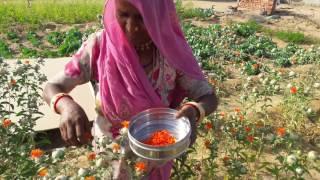 राजस्थान जालोर में पहली बार महिला किसान ने केसर कि खेती कर रचा इतिहास