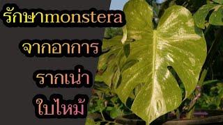 อัพเดทอาการ monstera รากเน่า ใบไหม้ ใบใหม่ไม่งอก