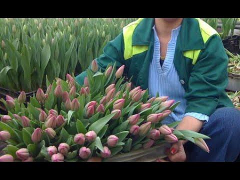 Срезка тюльпанов Выгонка тюльпанов к 14 февраля и 8 марта в январе 2020 Tulip Distillation 2020