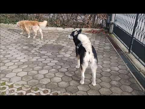 """Alaskan Malamute and Golden Retriever """"guarding"""" house from an intruder"""