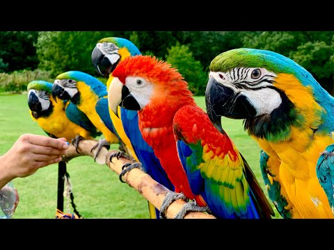 5 Pet Macaw Parrots In Free Flight || Primrose Hill - London