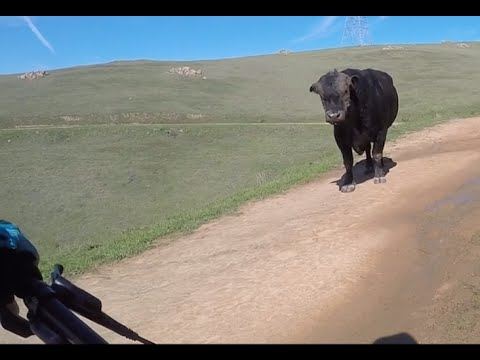 Facing off with a bull on a Dry Creek, Garin, North Garin MTB Ride
