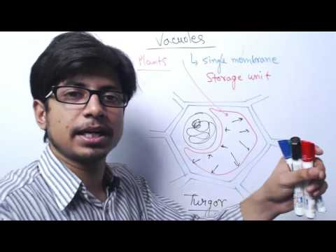 Vacuole Structure And Function