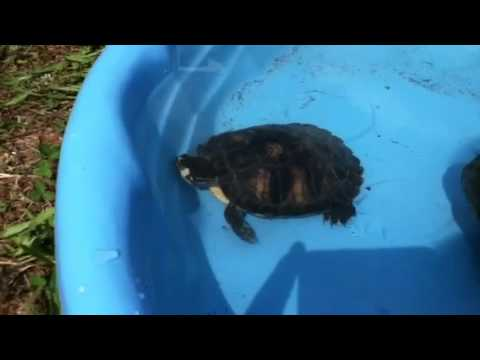 Turtle swimming in a kiddie pool - YouTube