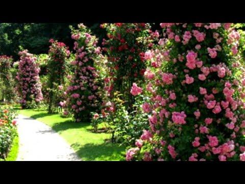 Розы в саду. Хелат железа срочно.