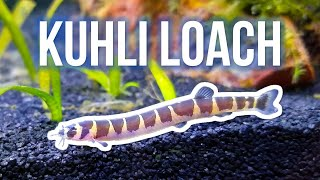 Kuhli Loaches – Best Beginner Oddball Fish?