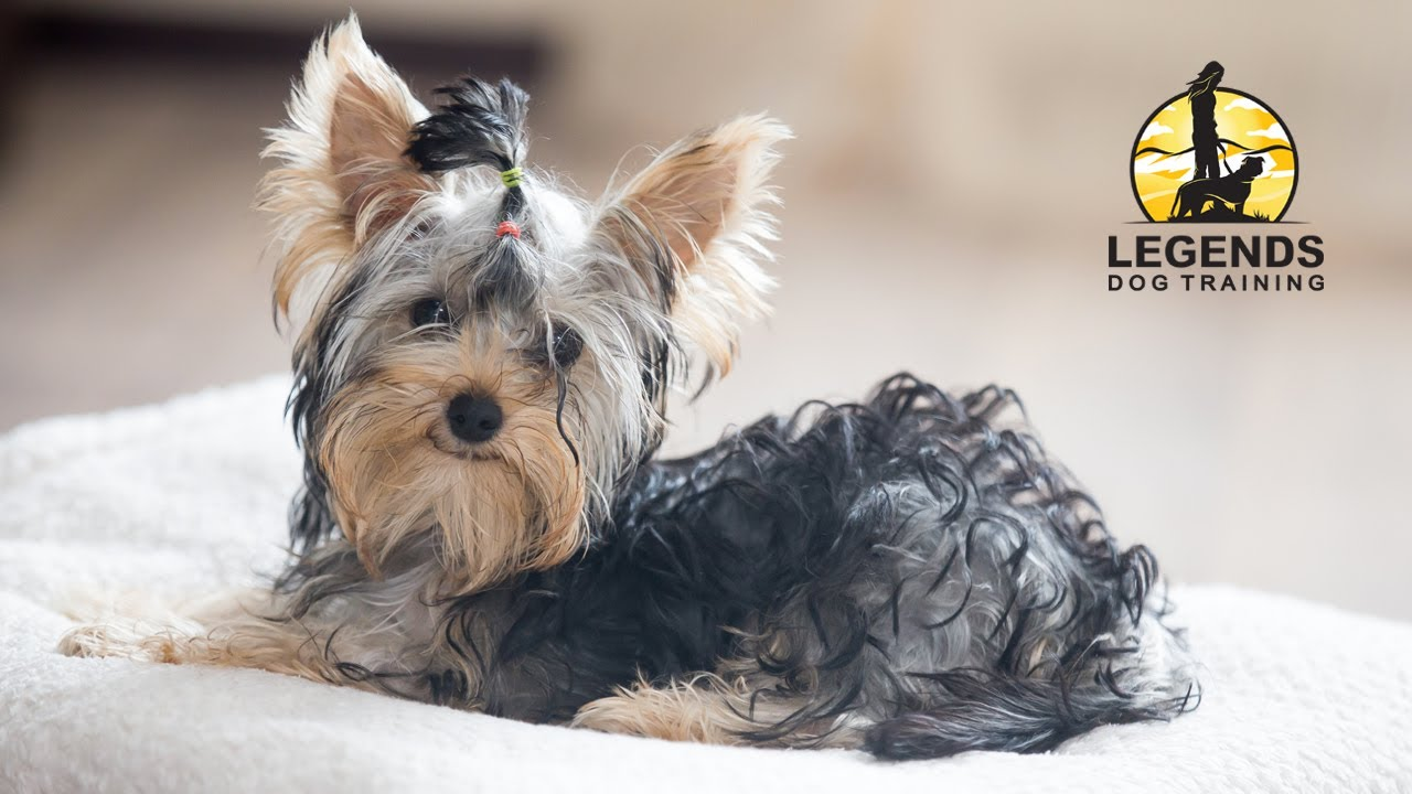 Yorkshire Terrier Training For Barking Youtube