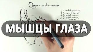 Анатомия мышц глаза - meduniver.com