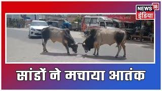 U.P:  हरदोई में सांडों ने मचाया आतंक, बीच सड़क पर हुई जोरदार लड़ाई, चोटिल होते-होते बचे राहगीर