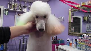 Poodle Face, Feet and Tail clipping