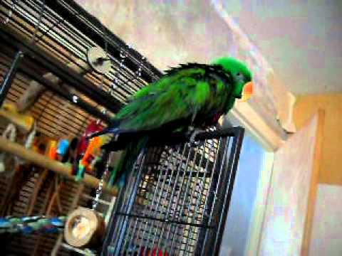 Jammy the eclectus Parrot making cute noises!
