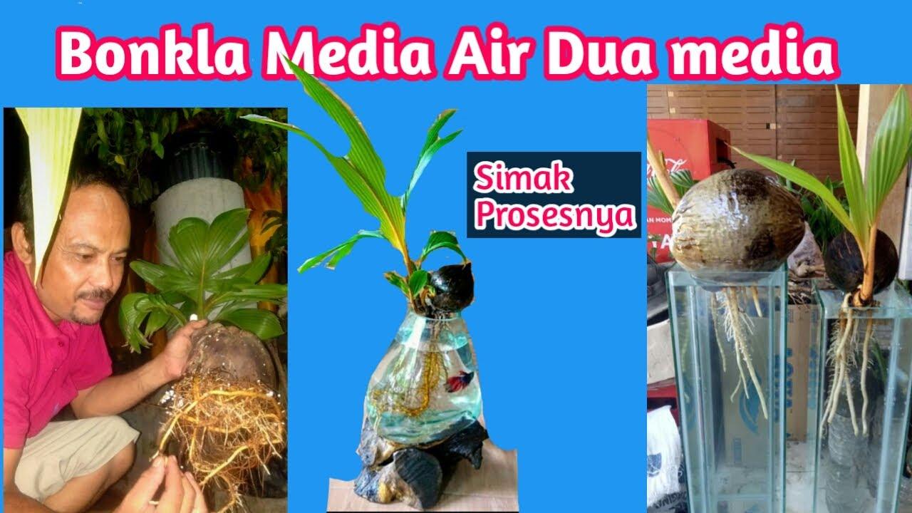 Toturial Bonsai Kelapa Media Air Dan Tanah Di Aquarium Youtube