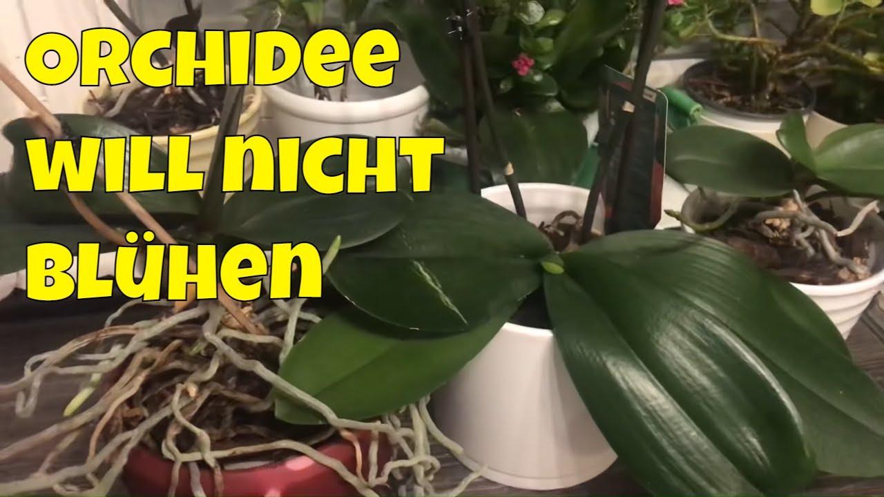 Lieblings Meine Phalaenopsis will nicht blühen. Meine Orchidee bekommt nur #HQ_67
