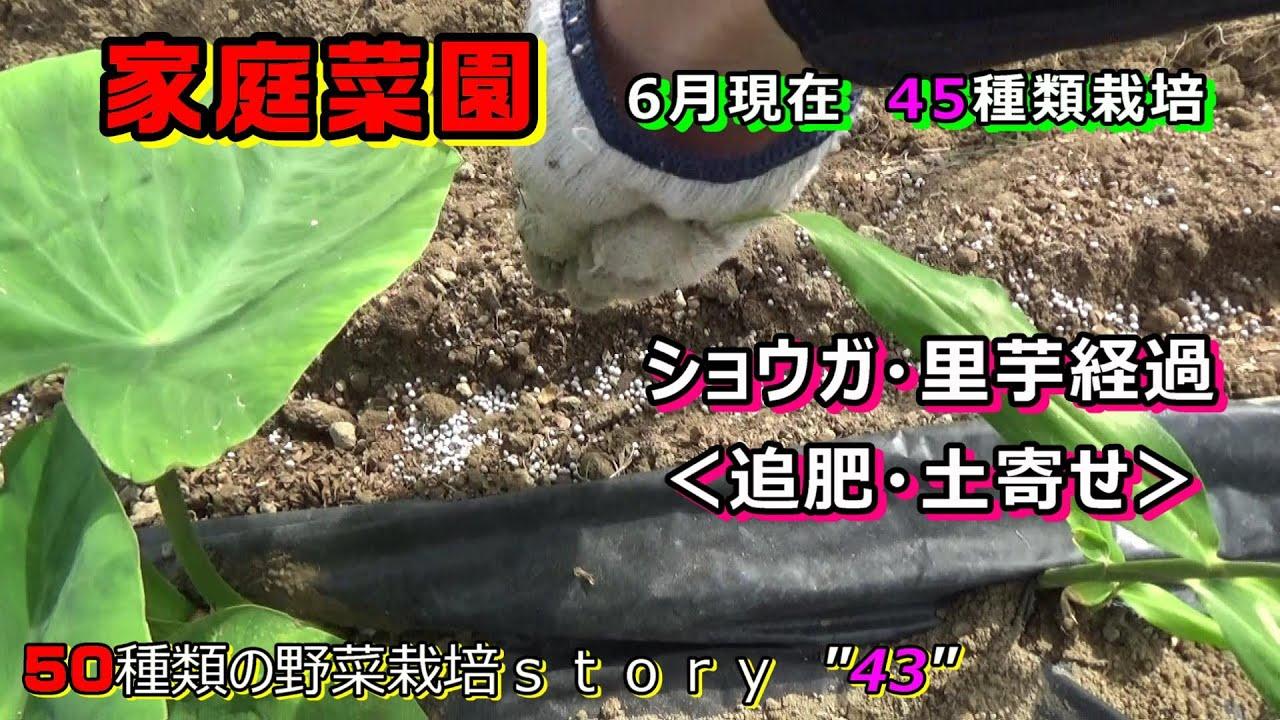 【家庭菜園】6月の野菜の様子!ショウガ・里芋の追肥・土寄せ