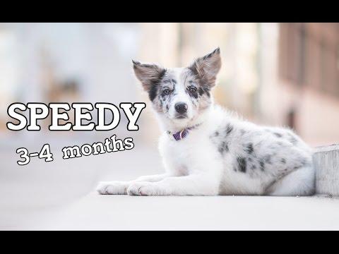 Speedy border collie puppy 3-4 months | Fun & tricks ♥