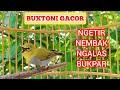 Pleci Gacor Twit Twit Zipper Ngecall Kicau Pidong  Mp3 - Mp4 Download