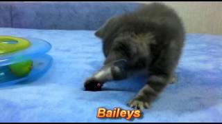 Британские котята окраса вискас (Baileys)
