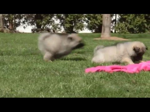 Keeshond Puppies For Sale