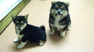 Shiba Inu, Puppies, For, Sale, In, Jackson, Mississippi, Ms, Clinton, Pearl, Horn Lake