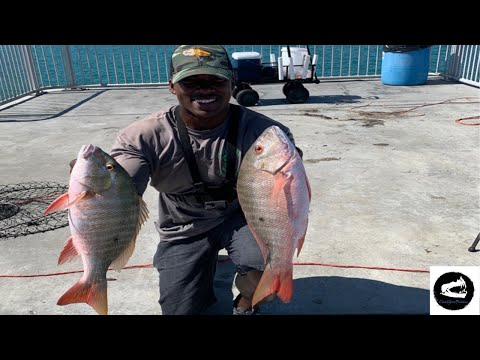 BIG Mutton Snapper! Mullet Run 2019, Bridge Fishing Florida Keys, (Catch And Cook)