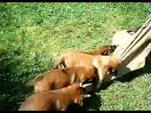 Primi morsi dei cuccioli di Malinois