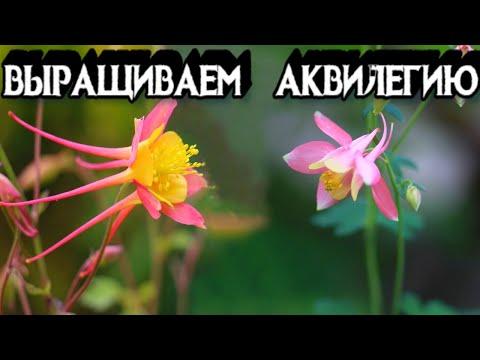 АКВИЛЕГИЯ или ОРЛИК - Размножение, Выращивание и Уход - Аквилегия из Семян и из Корней