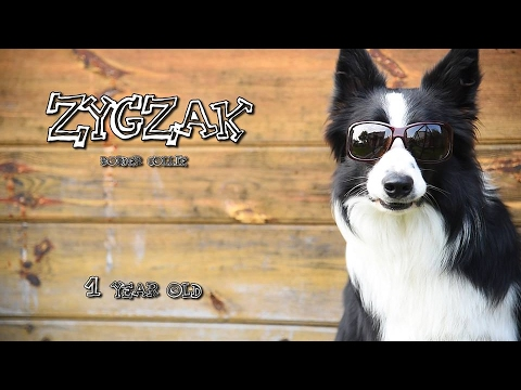 Border Collie dog tricks  Zygzak