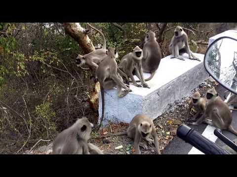Sathyamangalam forest Monkeys
