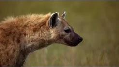 Hyenas attack and chase a cheetah (lang=german)