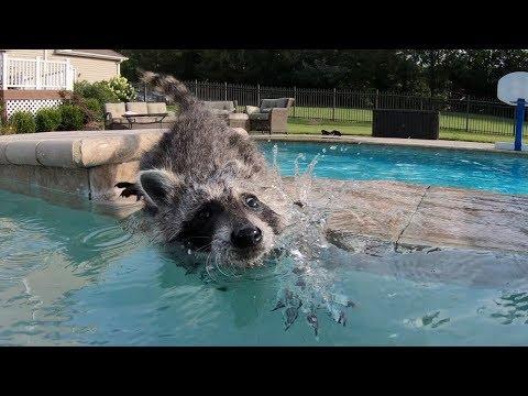 Baby raccoon learns to swim