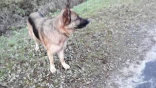 Собачка воет совместно с сиреной скорой помощи